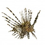 Lionfish 150x150 - UWF to offer new course on marketing lionfish as food