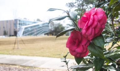 The camelia gardens on UWF's campus display beautiful flowers when in bloom.